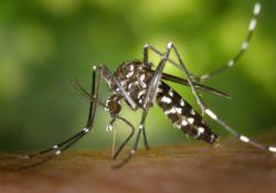 Attention : le moustique tigre attaque